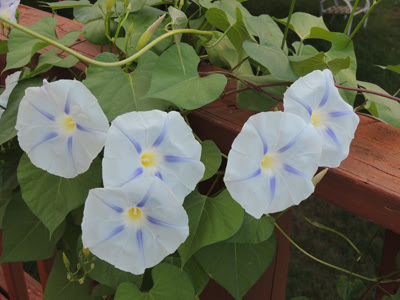 How To Grow Morning Glory Flowers Morning Glory Seeds Growing