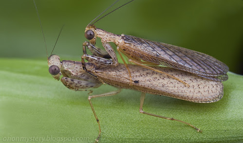 A mating pair of Amantis sp. mantids IMG_3316 merged copy