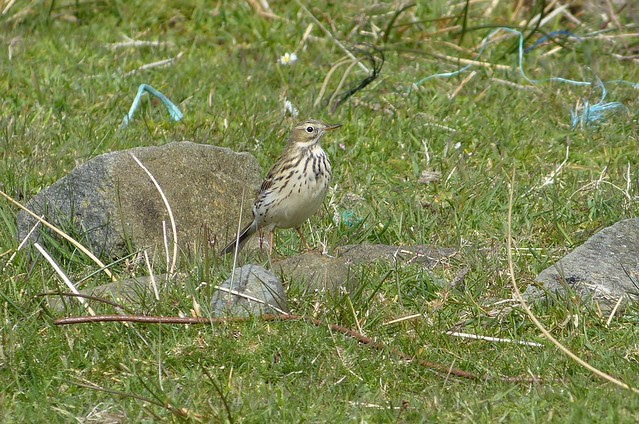 27113 - Meadow Pipit, Isle of Mull