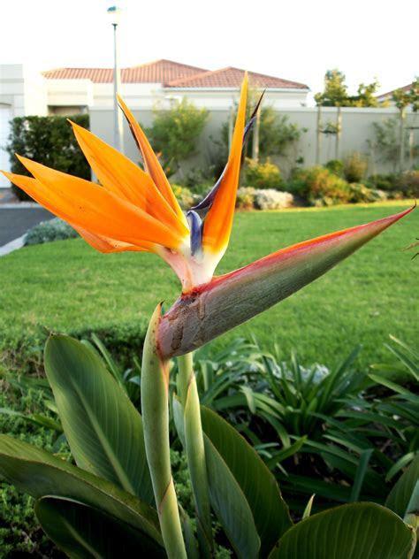 Bird of paradise (flower)   Symbolism Wiki   FANDOM