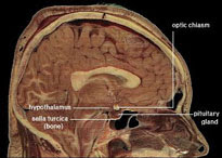 The human hypothalamus is involved in acupuncture pain reduction.