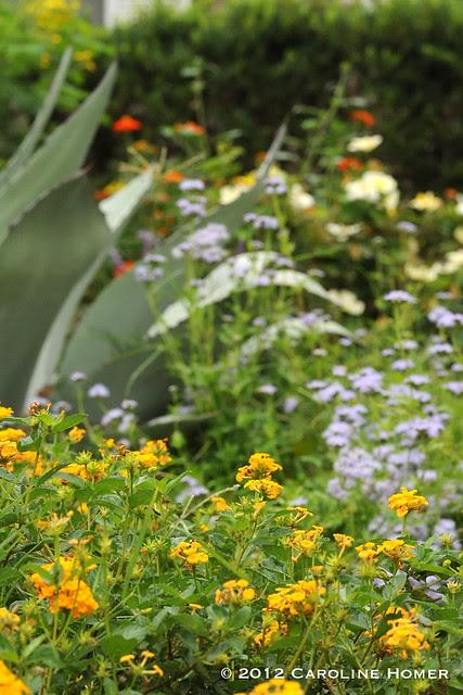 Lantana, mistflower, agave