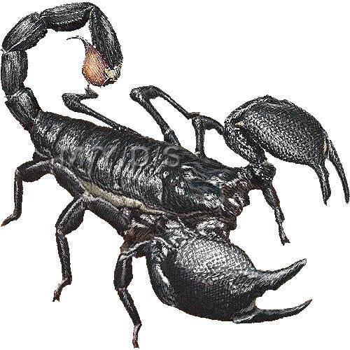 大王蠍 ダイオウ サソリのイラスト 条件付フリー素材集