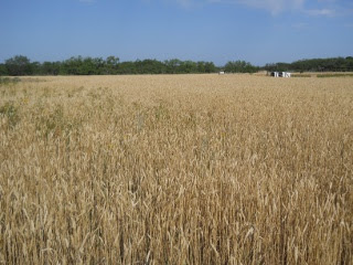 2012 Wheat Crop in May