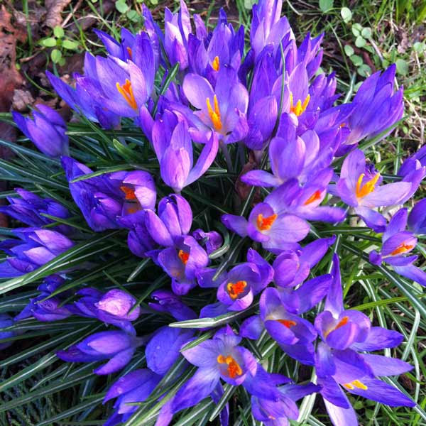 looking-down-on-crocuses
