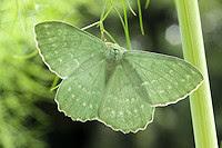 Large Emerald Moth