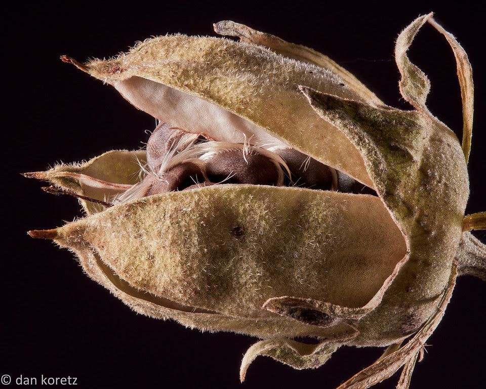 Rose Of Sharon Seeds Digital Grin Photography Forum