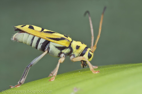 yellow longhorn beetle with black stripes Glenea sp. IMG_8204 copy