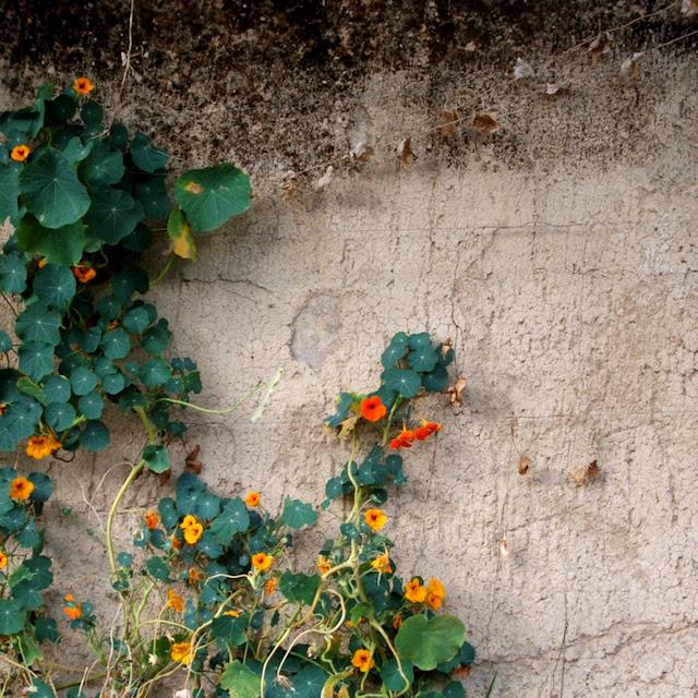 Yellow vine