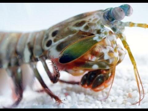 Dünyanın En Güçlü Canlısı 10cm Boyunda!   Mantis Karidesleri Ne Kadar Güçlü?