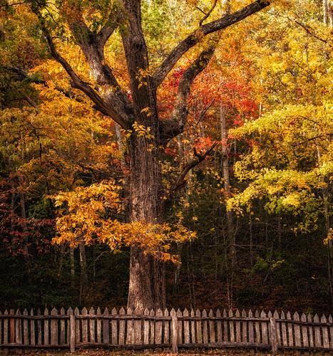 Fall Tree near the Little Greenbrier School