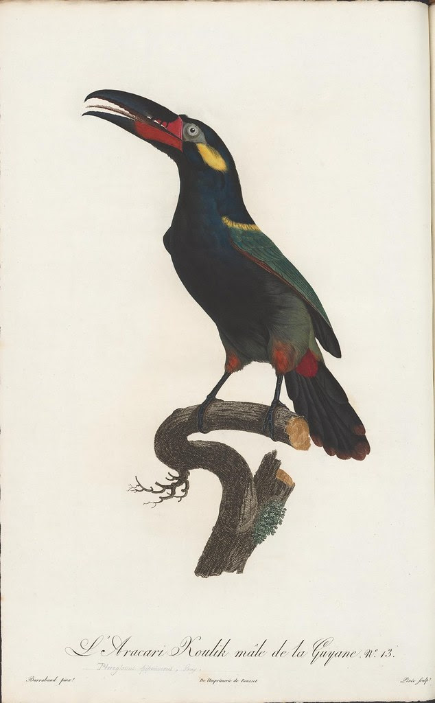 bird illustration: south american toucan