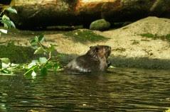 2008-08-21 Beaver