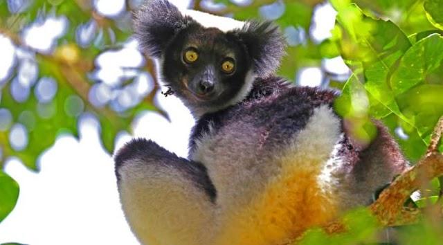 Lêmures indri estão entre os poucos animais que têm ritmo, diz estudo