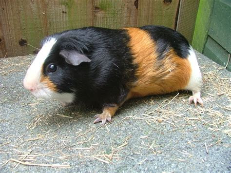 Sow Guinea pig for sale SOLD   March, Cambridgeshire   Pets4Homes