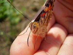 Ez a pillangó egy igazán barátságos állat volt...