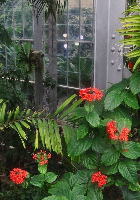 Clerodendron splendens
