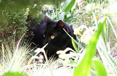 Charlie a black three legged cat
