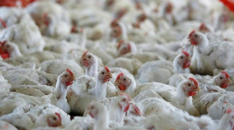 Antibiotics in poultry harm non-meat eaters as well. India should follow the example of EU, US and China in regulating the industry