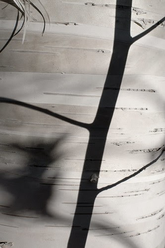 Birch shadow by dcclark