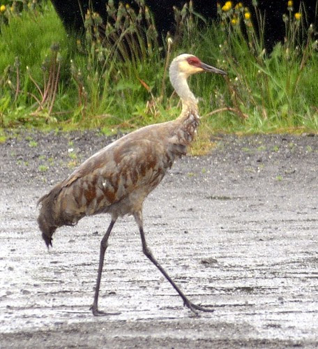 Sandhill Crane by RV Bob