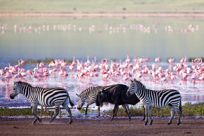 13 Pink flamingos and zebras at Lake Nakuru in Kenya (800x566, 350Kb)