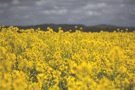 photo  field yellow flowers stocksnapio