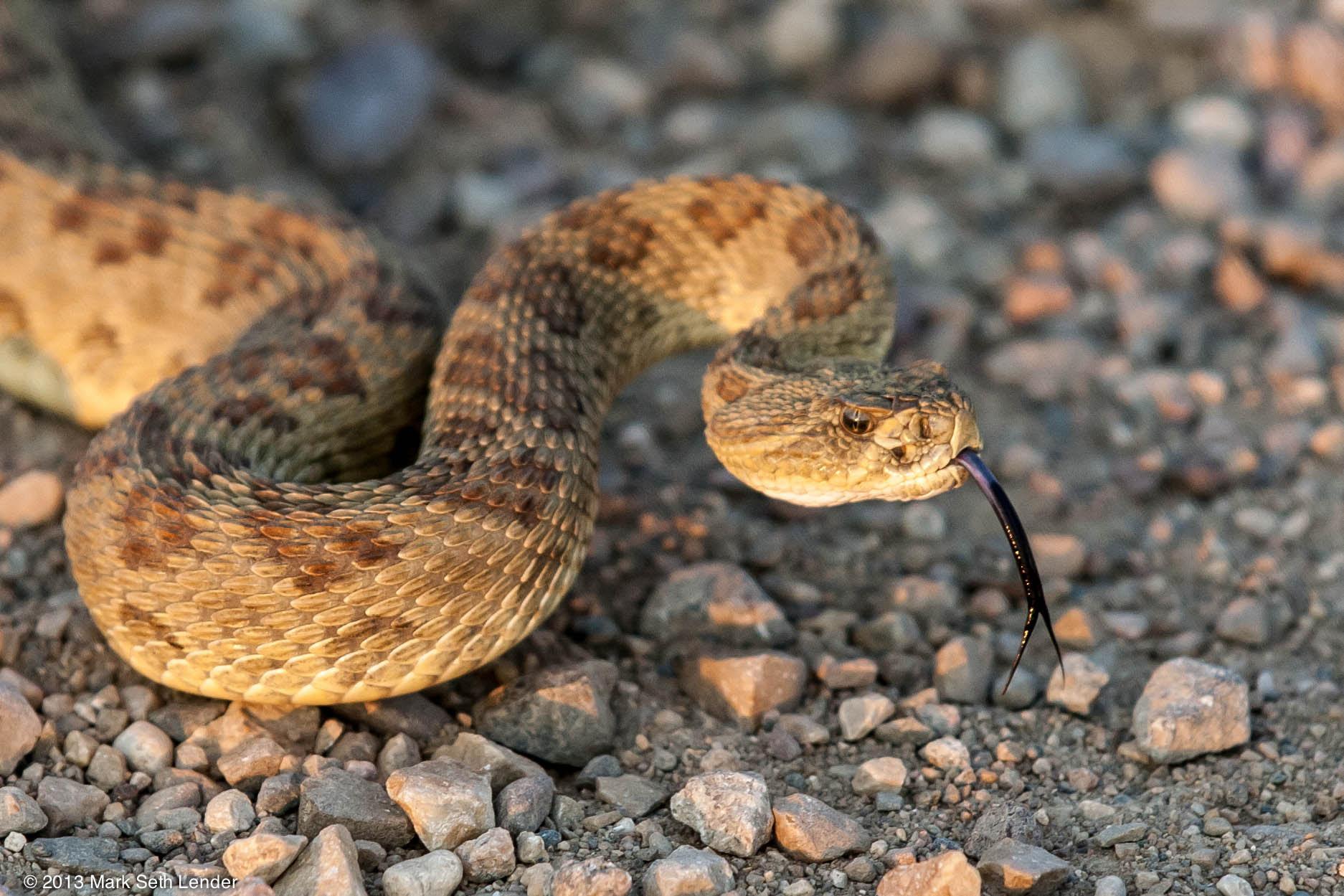 Resultado de imagem para Prairie rattlesnake