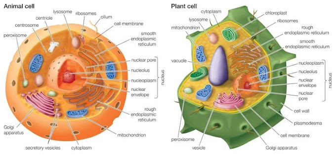 What Are the Differences Between Plant and Animal Cells?