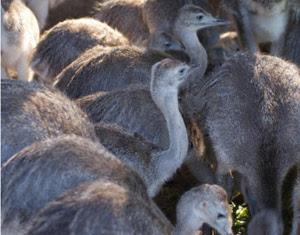 Calor e tempo seco ajudou na procriação das emas (Foto: Anelise Febernati/Pampas Safari/divulgação)