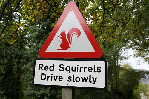 Red Squirrels Drive Slowly by ultraBobban