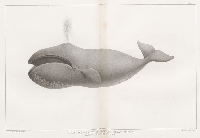 The Bowhead or Great Polar Whale (Balaena mysticetus. Linn.)