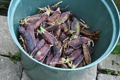 capucijner pea harvest