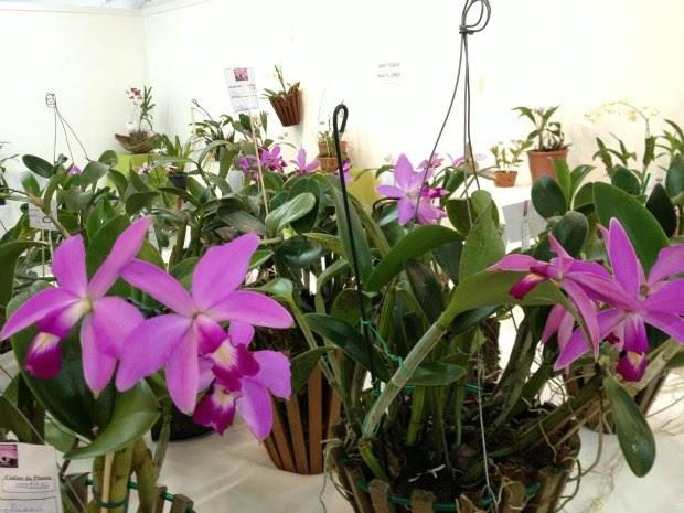 Orquídea da espécie Cattleya violacea, típica da região Norte, encontradas principalmente em beiras de rios (Foto: Larissa Matarésio/G1)