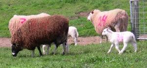Ewes and Lambs at Barinaga Ranch