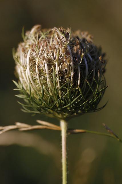 QAL seeds