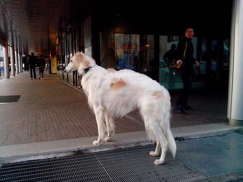 Un cane da corsa levriero by Ylbert Durishti