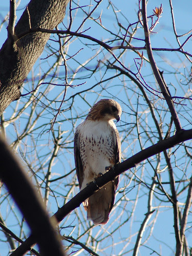 Red-Tail Tristan at Central Park's Ravine