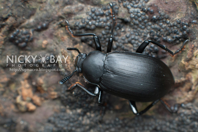 Darkling Beetle? - DSC_7098