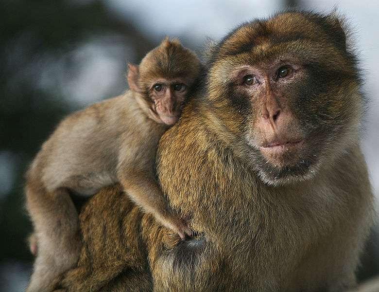 Papa magot et son fils. © Karyn Sig, CC by 2.0