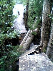Huon Pine crushing the board walk on the Gordon River