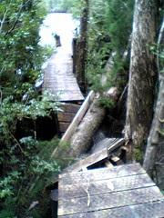 Huon Pine crushing the board walk on the Gordon River