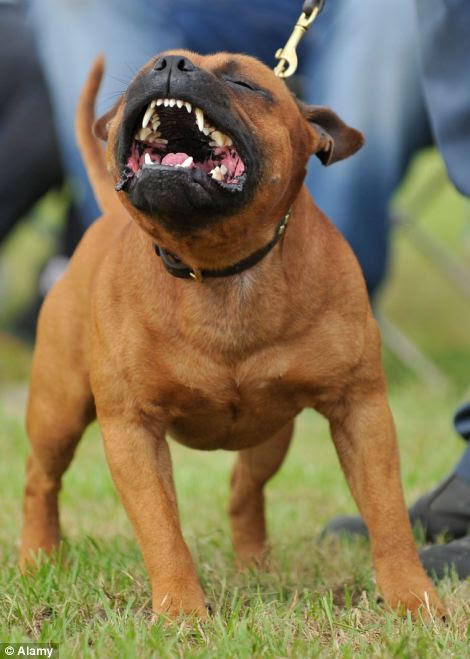 Vicious: The girl needed plastic surgery after she was mauled by the ferocious Staffordshire bull terrier (file picture)