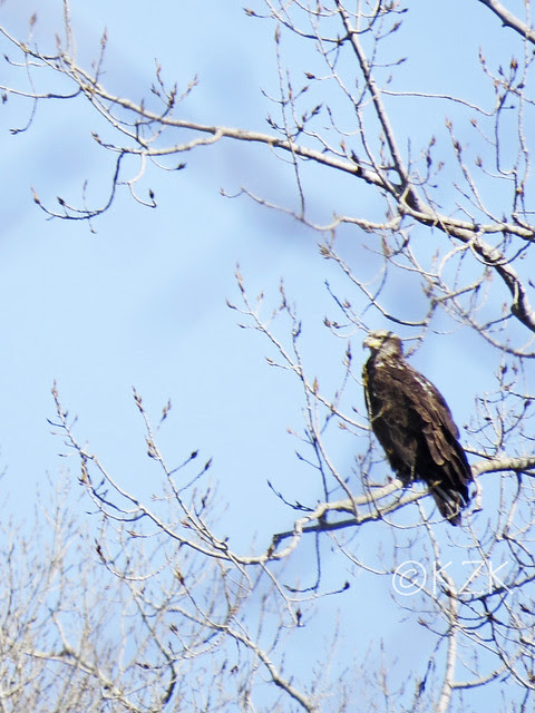IMG_0542cps Juvenile Bald Eagle