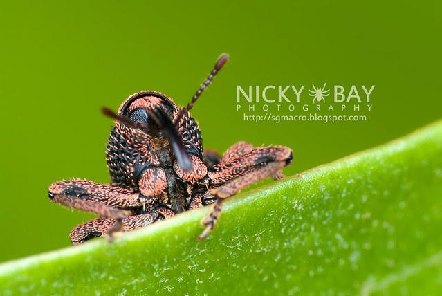 Weevil (Curculionidae) - DSC_2847