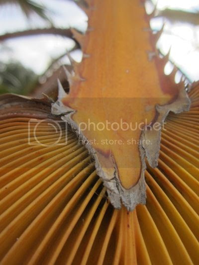 Dry palm frond photo SoCalJuly20131504a_zps82ea788e.jpg