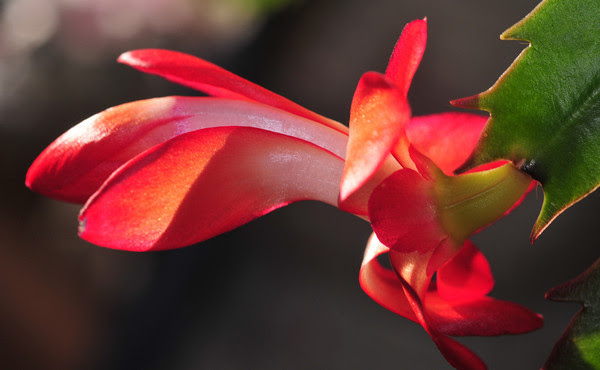 Christmas cactus blossoms in April!