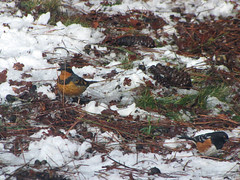 varied thrush and spotted towhee