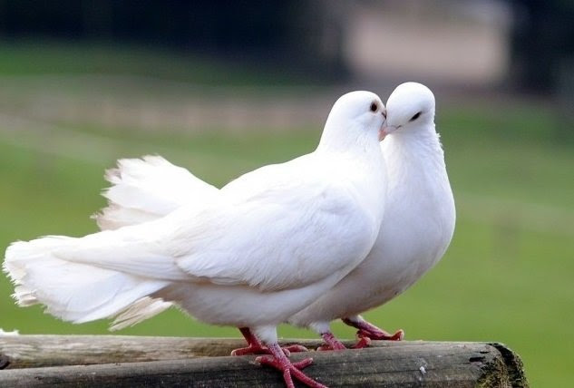 White Dove Meaning What Does A White Dove Symbolize Seattle