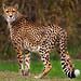 Cheetah, Taronga Western Plains Zoo, Dubbo, New South Wales, Australia IMG_1910_Dubbo